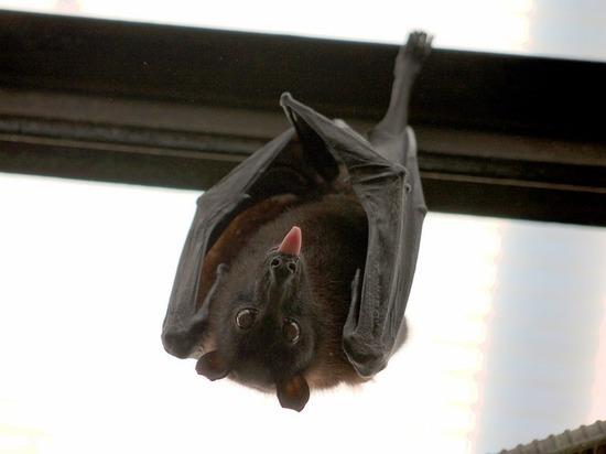 В Бразилии обнаружена двуглавая летучая мышь